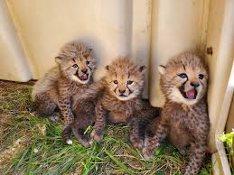 naming four cheetah cubs