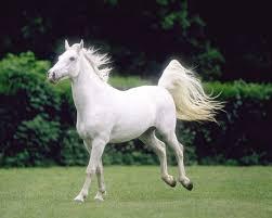 خيول عربية اصيلة جمال الخيول العربيه الاصيله احبك موت