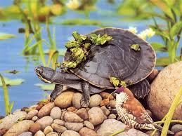 free cute turtle wallpaper