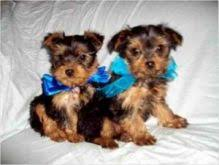 yorkshire terrier dogs puppies