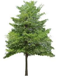"Image result for hazel tree clip art"""
