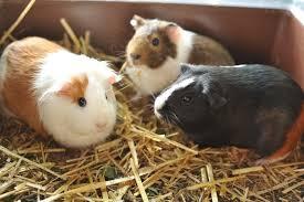 10 diy guinea pig cage ideas
