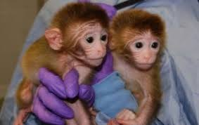 baby monkeys with 6 genomes are