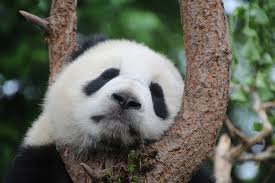 Giant panda population research shows ...