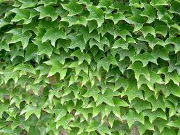 Parthenocissus tricuspidata - Shrub and Vine Seeds - Grape Ivy, Japanese  Creeper, Woodbine, Boston Ivy, Japanese Ivy - Price per 1 packet | Boston  ivy, Parthenocissus tricuspidata, Garden vines