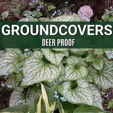 deer resistant groundcovers