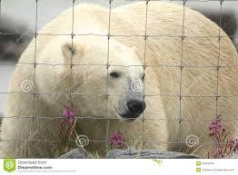 Polar Bear At The Fence 1 Stock Photo Image Of Fauna 33392346
