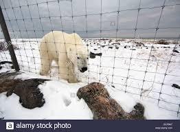 Polar Bear Outside The Fence Of Seal River Lodge Churchill Manitoba Stock Photo Alamy