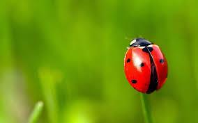 hd wallpaper gr ladybug wallpaper