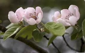 quince tree in bloom ultrahd wallpaper