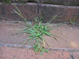 fight crabgrass with these tips