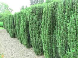top screening plants for your garden
