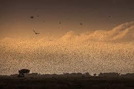 El repunte de la plaga de langosta en África oriental hace ...