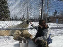 She S Not Putting Her Fingers Beyond The Fence Picture Of Canadian Polar Bear Habitat Cochrane Tripadvisor