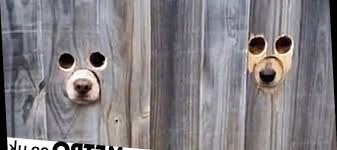 Owner Creates Dedicated Holes In Fence So Dogs Can Peek Through My Lifestyle Max