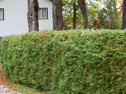 Living Privacy Fences Using Shrub Hedges