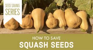 how to save squash seeds julia dimakos