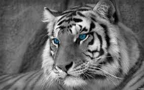 white tiger hd wallpapers desktop hd