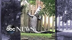 7 Foot Alligator Scales Backyard Fence Youtube
