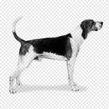 Dog, Treeing Walker Coonhound, English ...