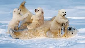 white polar bear with cubs small cinch
