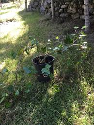Ivy green plants for sale North Nanaimo, Parksville Qualicum Beach - MOBILE