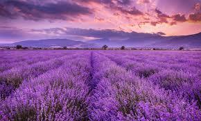 lavender fields wallpaper mural