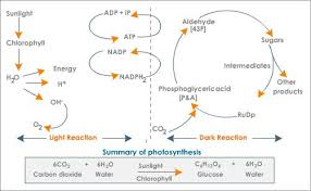how photosynthesis works hubpages