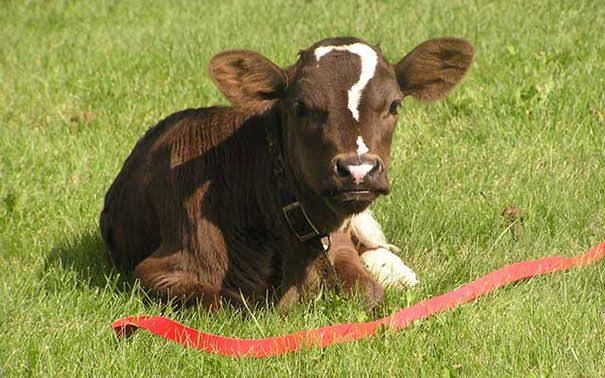 Image result for farm animal with unusual markings