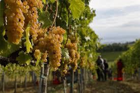 Tuscany Wine From Vine to Vernaccia   Envy Italy