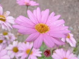 pink flower images free stock photos