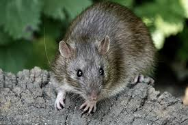 how to get rid of rats in the home