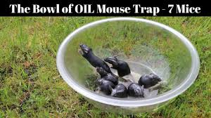 a bowl of peanut oil catches 7 mice in