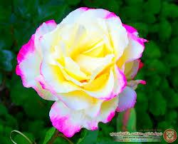 Photo1381159853 984 مجلة توب ماكس تكنولوجي صور ورد طبيعي رومانسي