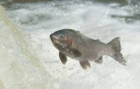wallpaper water fish rainbow trout