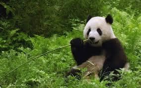 panda bear wallpaper free 1600x1000
