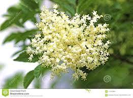 Delicate Elderflower On The Tree Stock Image - Image of leaves ...