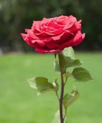 antara bunga mawar dan edelweis com