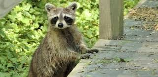 How To Protect Your Home From Raccoon Damage Today S Homeowner
