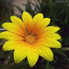 عکس گل برای پروفایل   تصاویر گل زیبا و عاشقانه - آرمانین