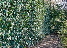 Fence From A Grid The Chainlink Is Hidden Under English Ivy European Ivy Is An Excellent Choice For Decorating Fences And Fences In Fabulously Beautiful Gardens Stock Photo Download Image Now