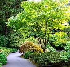 acer palmatum japanese maple hello