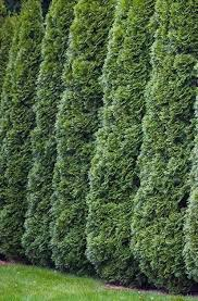 Green Giant Arborvitae Trees Shop With Plantsbymail Com