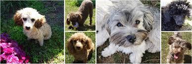 havapoo toy poodle puppies