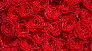 rose flowers flower roses bokeh