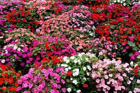 bedding plants in your lawn or garden