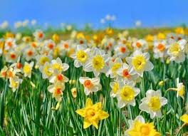 jenis bunga yang mekar selama musim semi di jepang kaskus