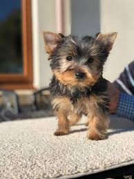 available puppies teacup yorkie puppies