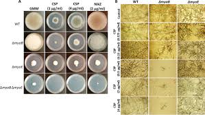 Distinct Roles of Myosins in Aspergillus fumigatus Hyphal Growth and  Pathogenesis | Infection and Immunity