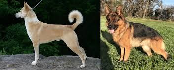 canaan dog vs german shepherd breed